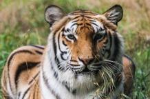 Tiger-newcrop